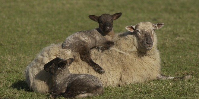 IFA warning on dog attacks on sheep