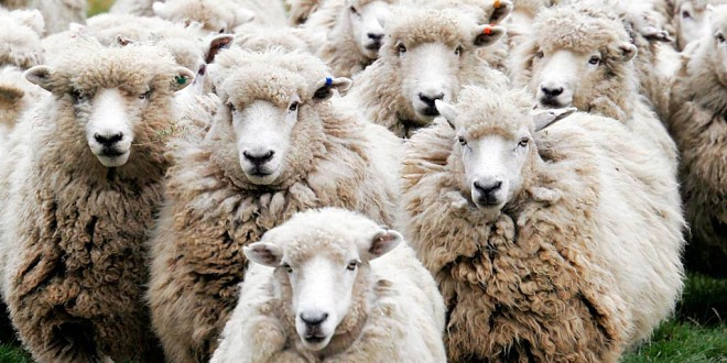 Shepherds' warning on dog attacks
