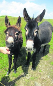 The donkeys got a few nibbles from the walkers.