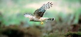 Oireachtas Committee discusses hen harrier