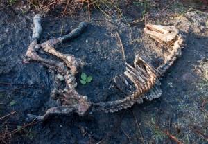 160115 A horse carcass in a field near Ballinruan on Friday.Pic Arthur Ellis.