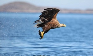 The White-tailed sea eagle. Photograph by Valerie O'Sullivan.
