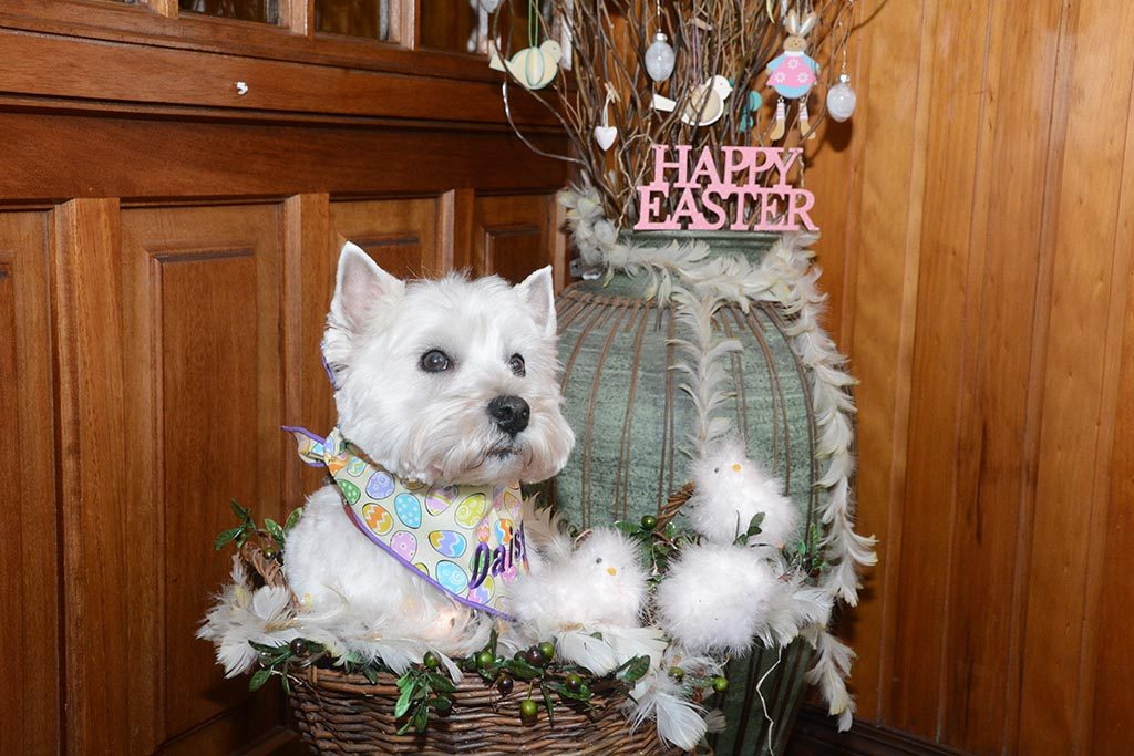 Daisy wishes everyone a Happy Easter and reminds us not to feed chocolate to dogs.